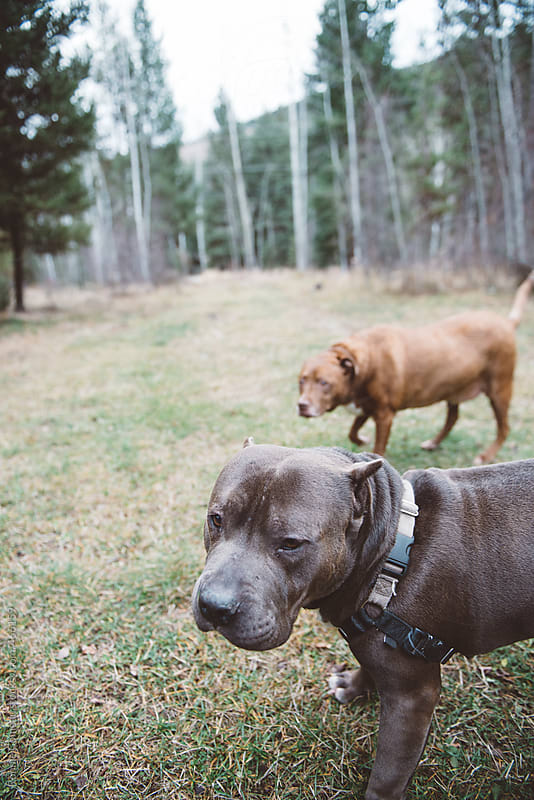 Pit Bull And Friend by Ronnie Comeau for Stocksy United