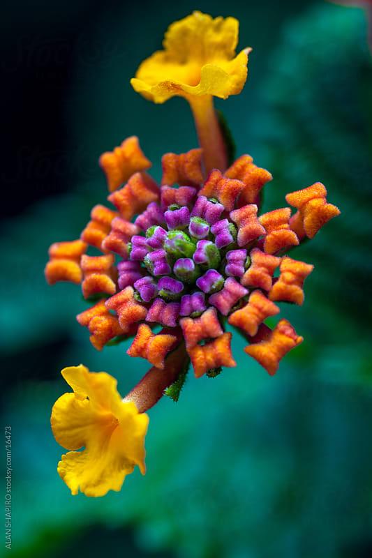 Lantana in bloom by ALAN SHAPIRO for Stocksy United