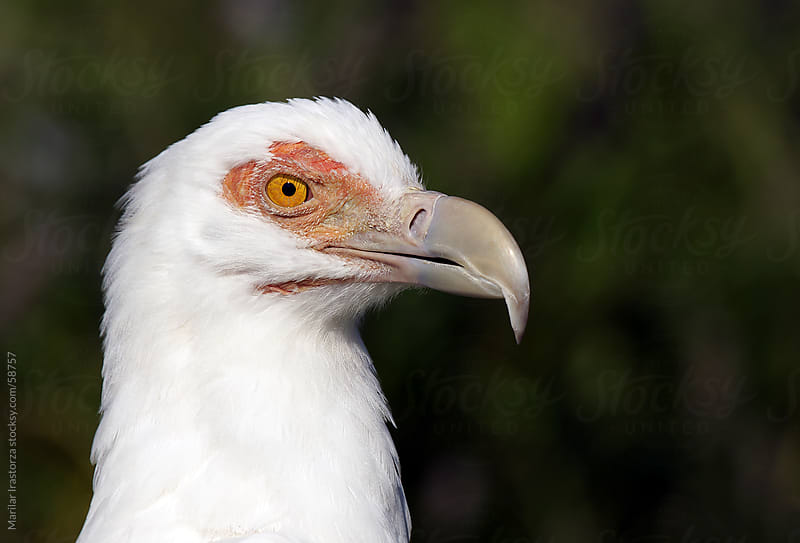 Palm-nut Vulture by Marilar Irastorza for Stocksy United
