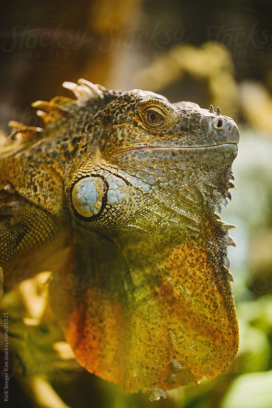 Side Profile Head Shot Of An Iguana With It's Beard Extended by kelli kim for Stocksy United