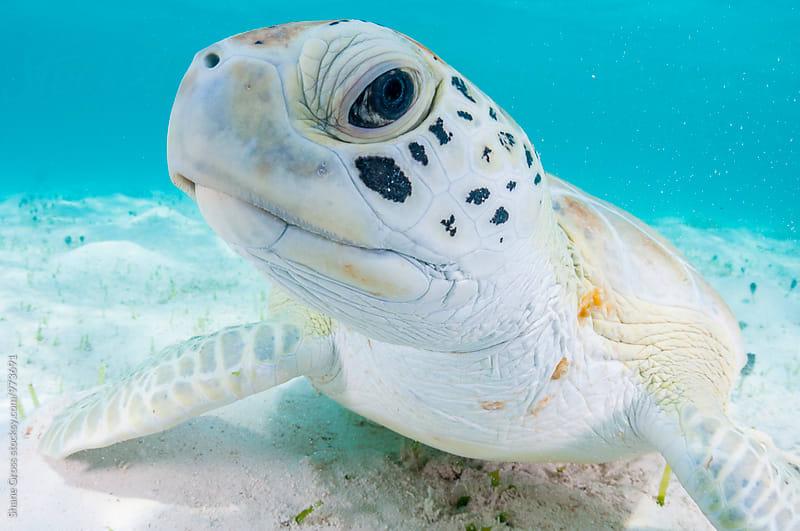 Green Sea Turtle Portrait by Shane Gross for Stocksy United
