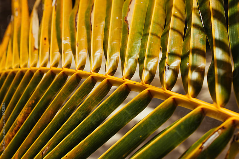 Palm Leaf Detail by Taylor Kampa for Stocksy United
