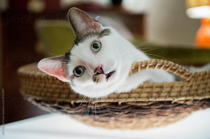 Tabby Cat in Basket by Jeff Wasserman for Stocksy United