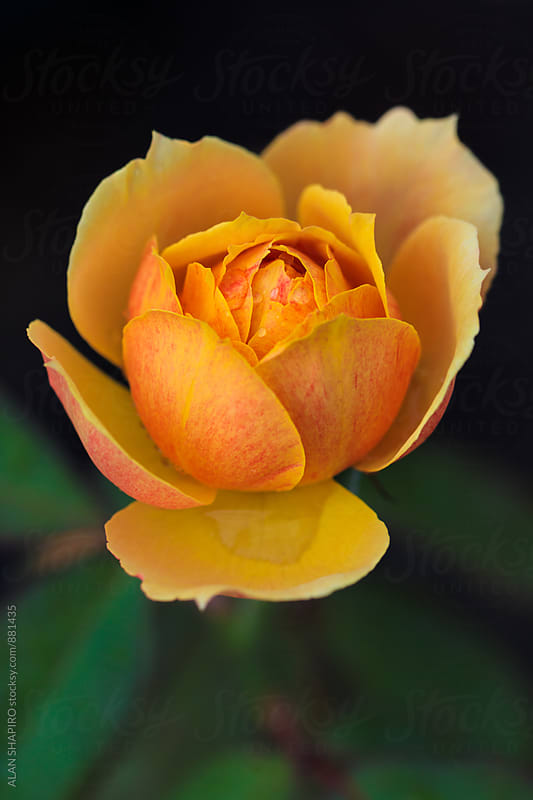 Orange Rose by ALAN SHAPIRO for Stocksy United