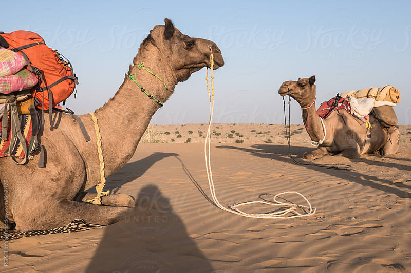 camels sitting on sand in the desert  by RG&B Images for Stocksy United