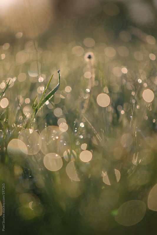 Spring grass with dew during sunrise by Pixel Stories for Stocksy United
