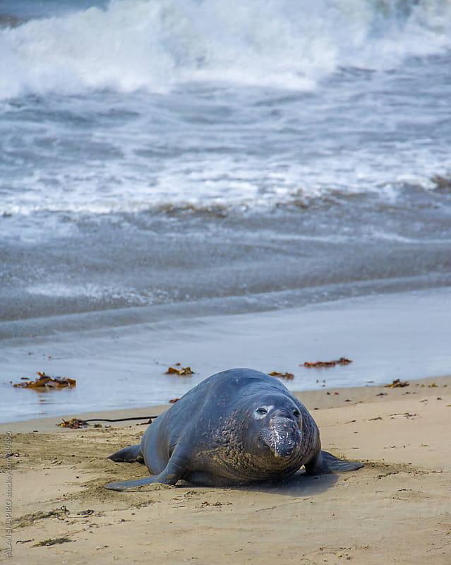 Elephant Seal by ALAN SHAPIRO for Stocksy United