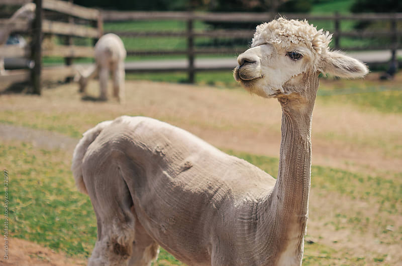 Sheared Alpaca with Long Neck by Deirdre Malfatto for Stocksy United