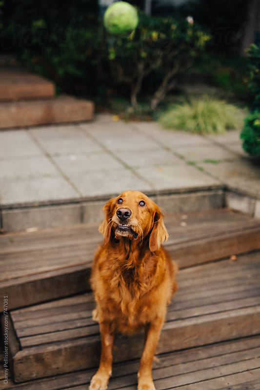 Golden Retriever by Danny Pellissier for Stocksy United
