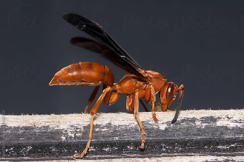 A red wasp collecting wood fibers to use in building a nest by David Smart for Stocksy United