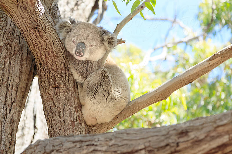 Koala in a tree. Australia. by John White for Stocksy United