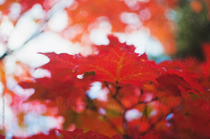 Beautiful red autumn leaves by Chelsea Victoria for Stocksy United