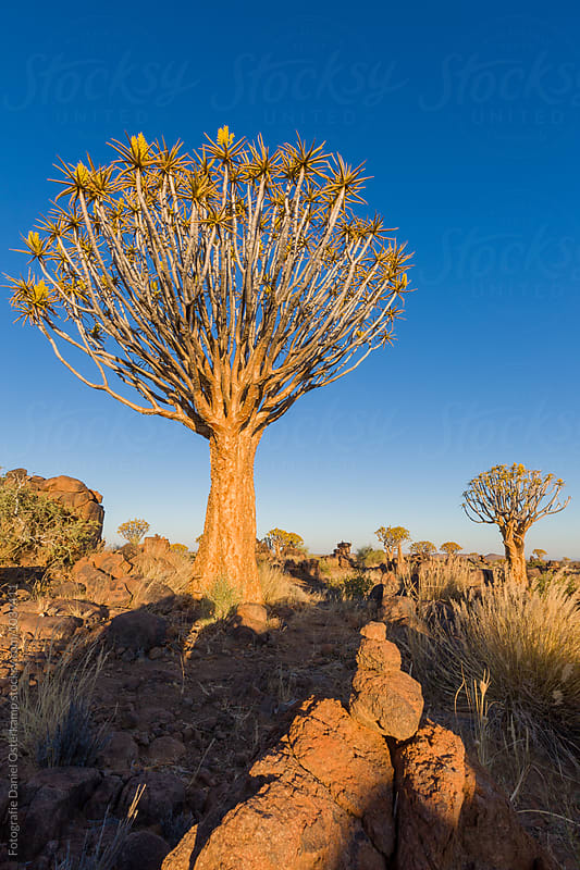 Quiver Tree at Giants Playground, Ketmanshoop, Namibia. by Fotografie Daniel Osterkamp for Stocksy United
