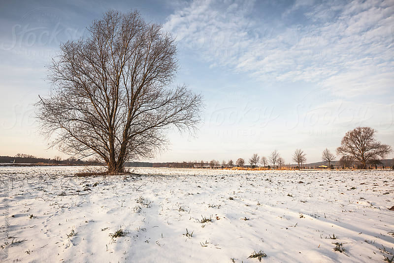 Tree on snowy field, early morning sun by Mima Foto for Stocksy United