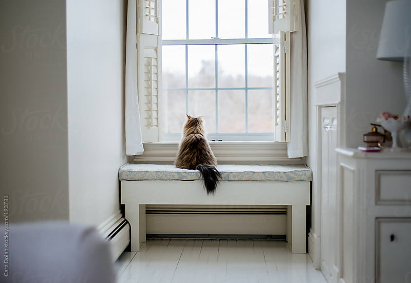 Persian cat looks out the window by Cara Dolan for Stocksy United