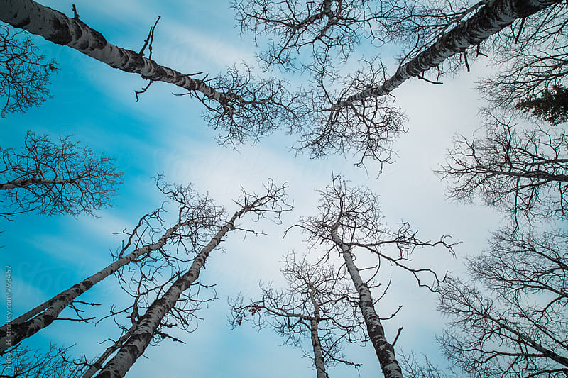 Birch trees reach to a painterly sky by Riley Joseph for Stocksy United