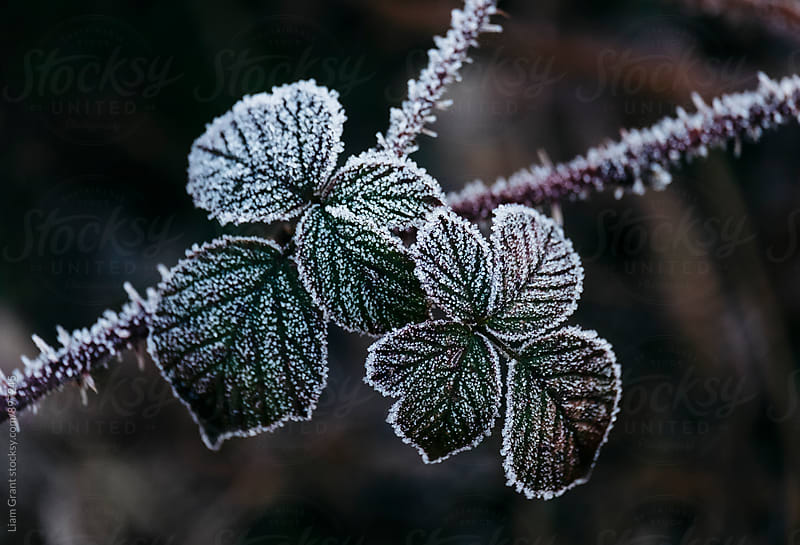 Detail of wild Bramble leaves covered in frost. Norfolk, UK. by Liam Grant for Stocksy United