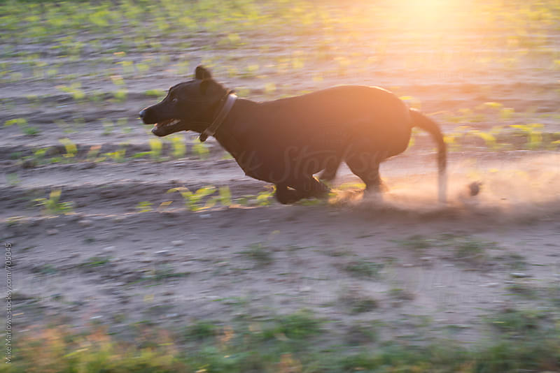 Backlit shot of a black labrador running quickly past the camera by Mike Marlowe for Stocksy United