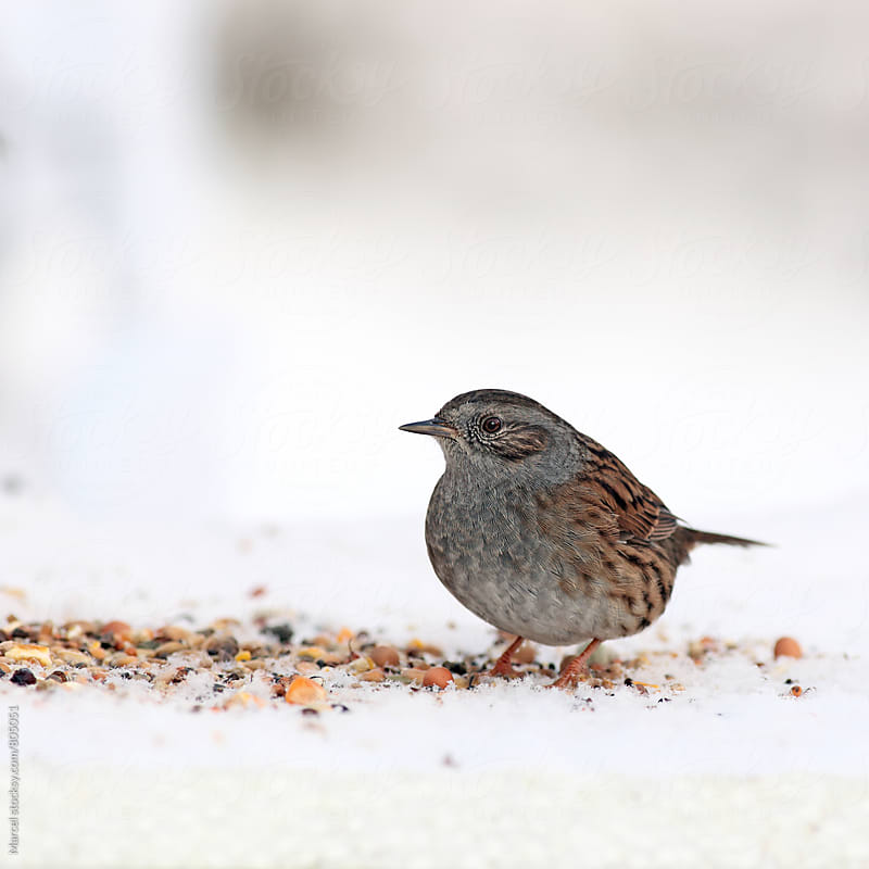 Dunnock picking birdseed on the snow by Marcel for Stocksy United