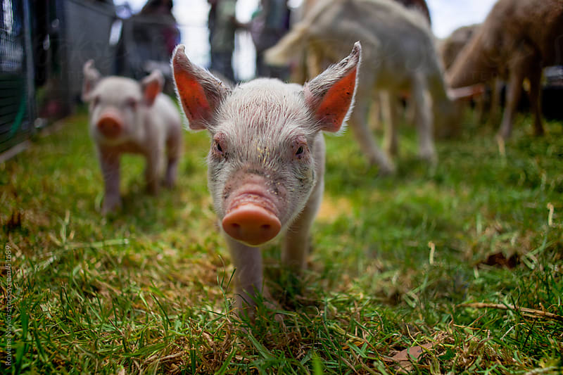 Curious Piglet walking towards camera by Rowena Naylor for Stocksy United