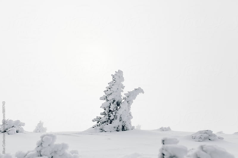 Forest of fir trees frozen  by Jordi Rulló for Stocksy United