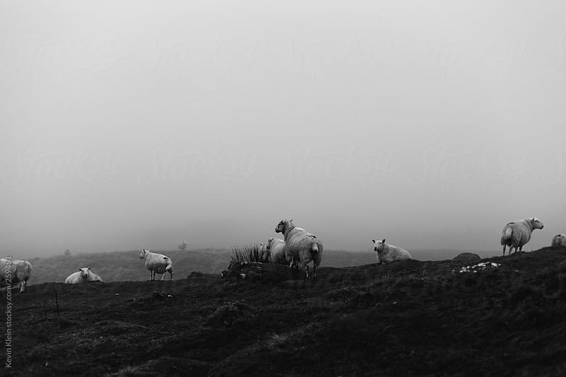 sheep by Kevin Klein for Stocksy United