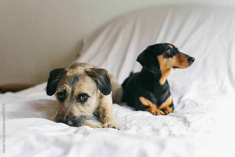 Cute dogs on the bed by Marija Kovac for Stocksy United