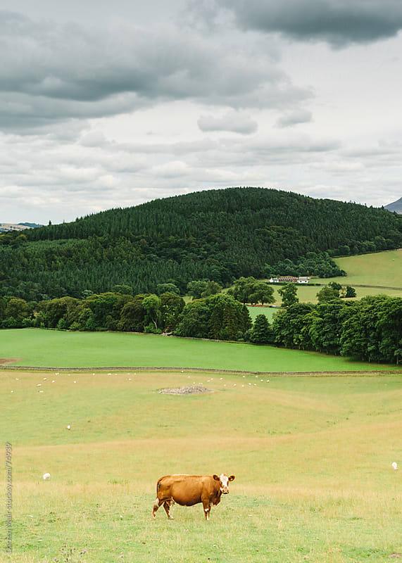 Lone cow in a field. by Darren Muir for Stocksy United