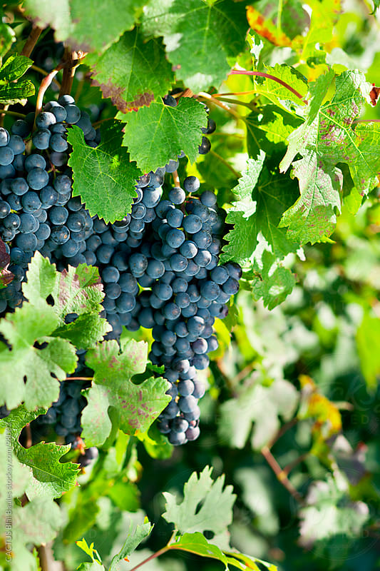 Bunch of blue grapes by CACTUS Blai Baules for Stocksy United