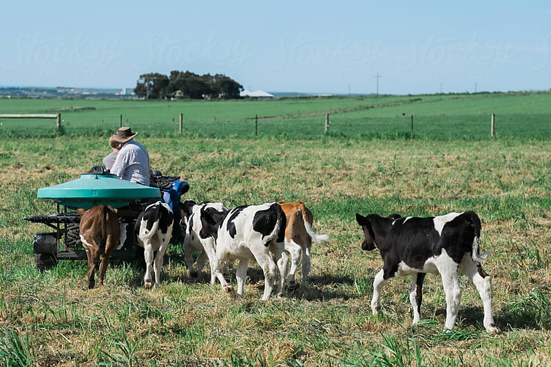 Farmers feeding dairy calves by Rowena Naylor for Stocksy United