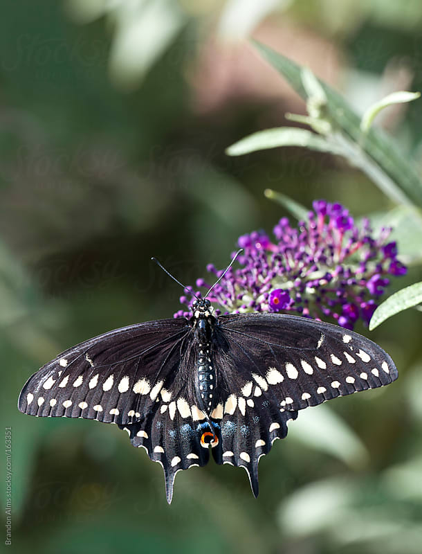 Pipevine Swallowtail Butterfly on Flowers by Brandon Alms for Stocksy United