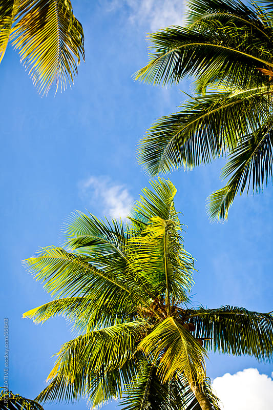Palm trees set against a bright blue sky. by Robert Zaleski for Stocksy United