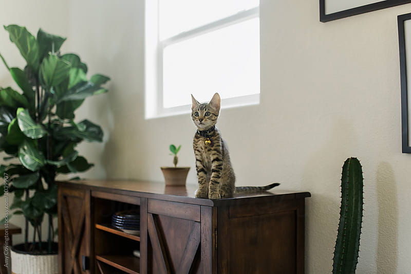 Kitten sitting on a cabinet  by Amy Covington for Stocksy United