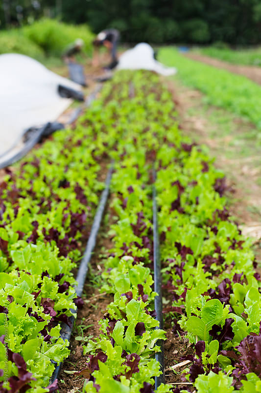 Lettuce growing at an urban farm by Holly Clark for Stocksy United