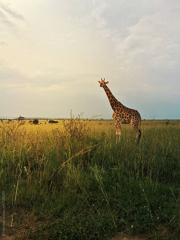 Giraffe on African Safari by B. Harvey for Stocksy United