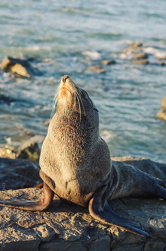 Male New Zealand fur seal at sunrise by Dominique Chapman for Stocksy United