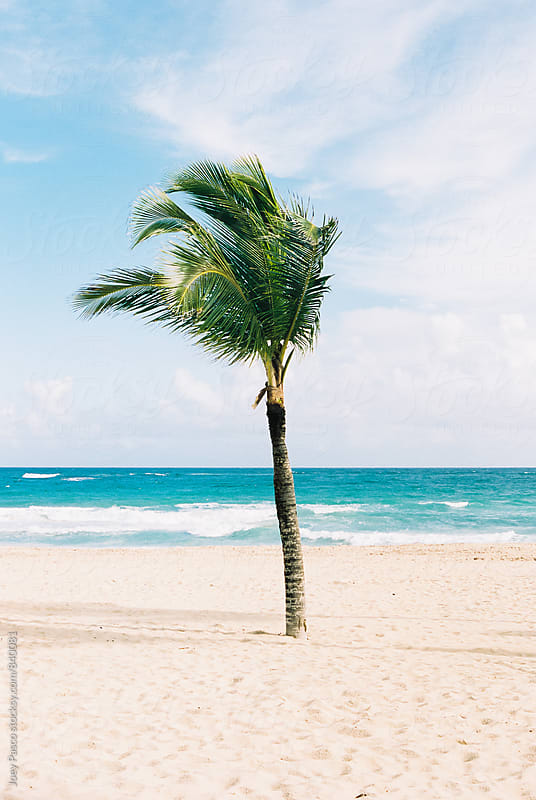 Palm tree in the breeze on white sand Caribbean beach by Joey Pasco for Stocksy United