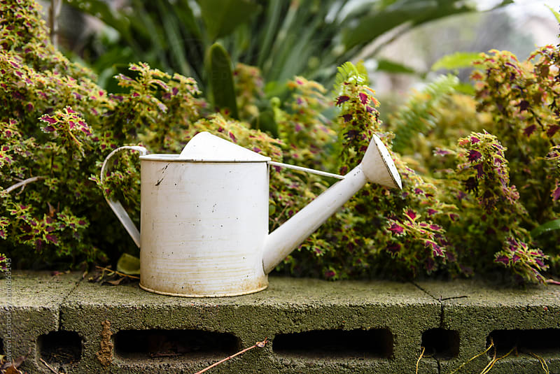 White antique watering can beside plant in garden by Lawren Lu for Stocksy United