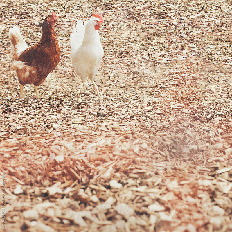 Two Chickens by VISUALSPECTRUM for Stocksy United