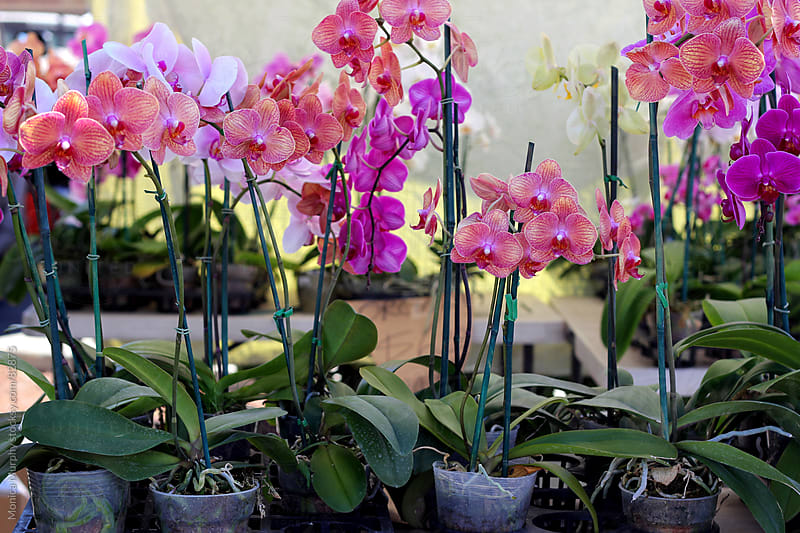 Colorful orchids at the local farmers market by Monica Murphy for Stocksy United