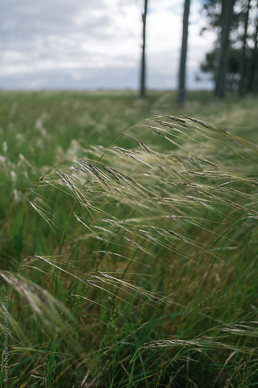 Meadow Grass Blowing in the Wind by Rowena Naylor for Stocksy United