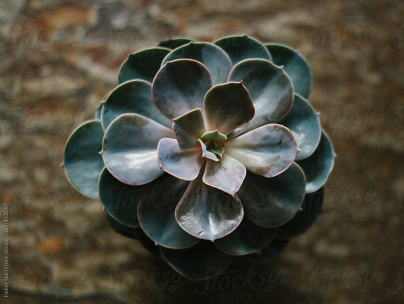 Succulent by Helen Rushbrook for Stocksy United