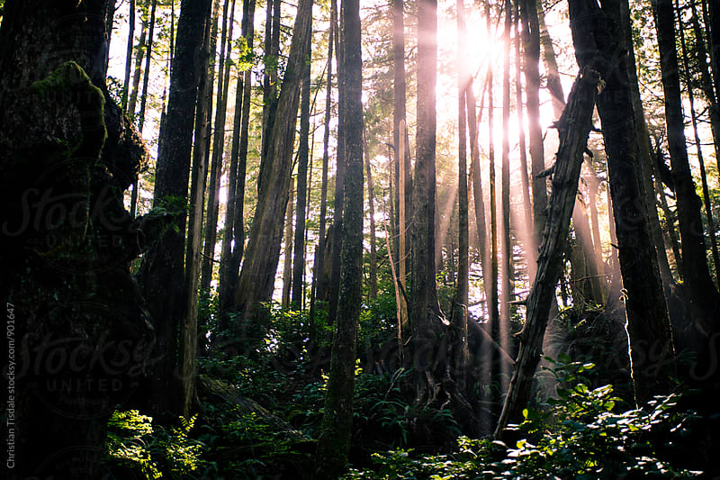 Rays of light coming through the rain forest by Christian Tisdale for Stocksy United