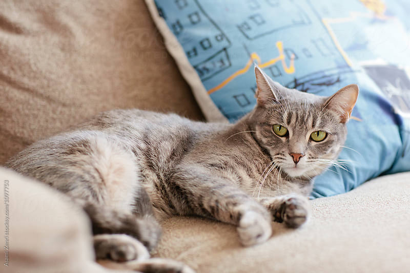 Cat in couch by Asami Zenri for Stocksy United