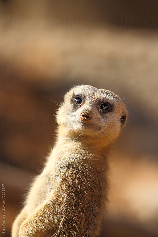 Meerkat looking out for danger by Sara Wager for Stocksy United