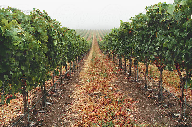 Vineyard Rows by Jayme Burrows for Stocksy United