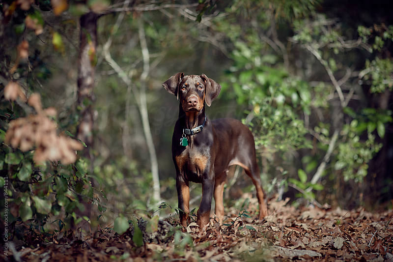 Young Doberman looking from woods by Alicja Colon for Stocksy United