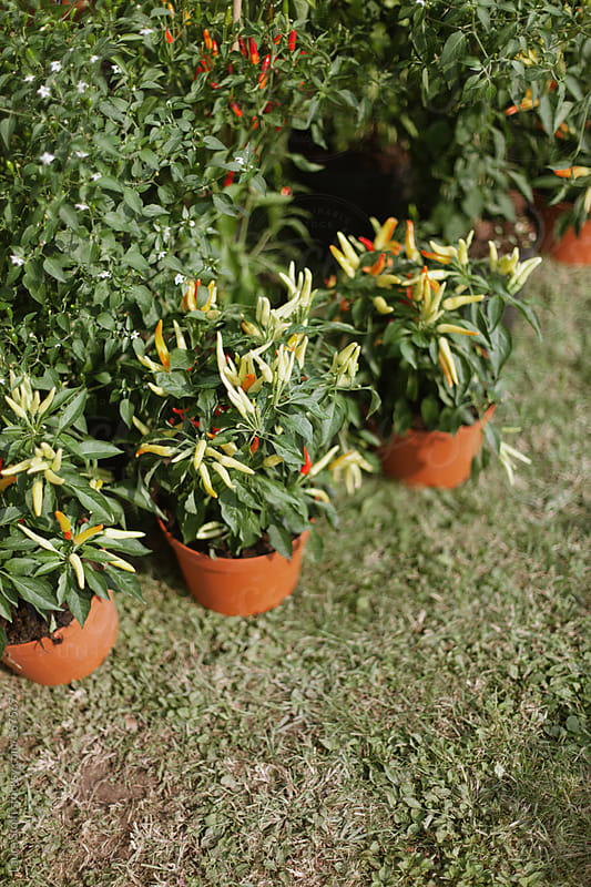 Red and yellow chilli peppers plants in pots by Laura Stolfi for Stocksy United