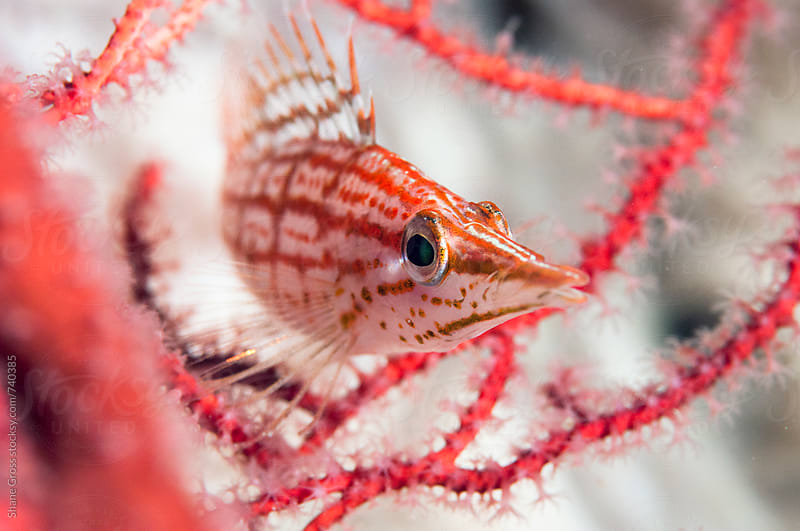 Long Nosed Hawk  Fish on a Sea Fan by Shane Gross for Stocksy United