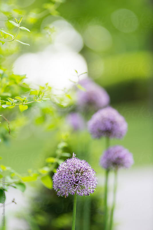 Purple Allium Flowers by Melissa Ross for Stocksy United